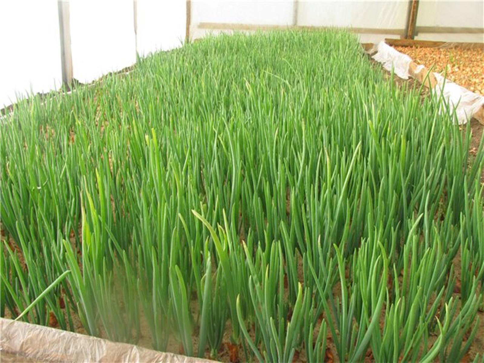 Как правильно выращивать лук?